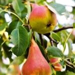 Pear garden — Stock Photo
