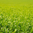 Green grass. — Stock Photo #9209083