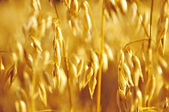 Oats gold — Stock Photo