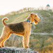 Airedale terrier — Stock Photo