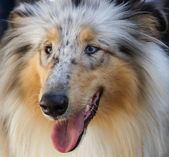 Shetland Sheepdog — Stock Photo