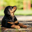 Rottweiler puppy on a playground — Stock Photo