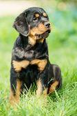 Rottweiler puppy on a grass — Stock Photo