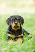 Rottweiler puppy on a grass — Stock Photo