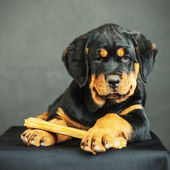 Rottweiler puppy on a black background — Stock Photo