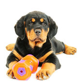 Rottweiler puppy on a whete background — Stock Photo