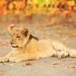 Lion's cub lying on the ground — Stock Photo