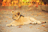 Lion's cub lying on the ground — Foto Stock