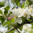Stock Photo: Apple blossom in spring