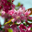 Stock Photo: Flowering plum