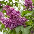 Branches of the lilac — Stock Photo