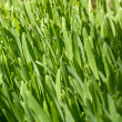 Green wheat covered with dew — Stock Photo #10334178