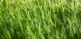 Green wheat covered with dew — Stock Photo