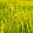 Stock Photo: Green grass with drops of dew