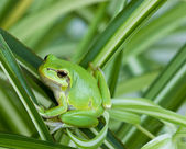 Little green frog — Stock Photo