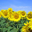 Stock Photo: Sunflover field