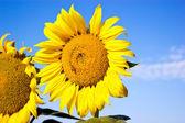Sunflower, honey bee and sky — Stock Photo