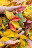 Autumn leaves in hands — Stock Photo
