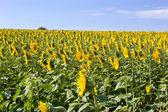 Sunflowers and sky — Stock Photo
