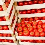 Fresh organic tomato in crates — Stock Photo