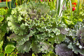 Brassica oleracea — Zdjęcie stockowe
