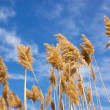 Dry reed grass - cane — Stock Photo