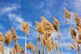 Grama seca reed - cana — Foto Stock