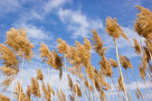 Dry reed - cane — Stock Photo