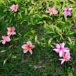 Pink Plumeria on grass - Stock Photo