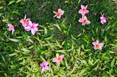 Pink Plumeria on grass — Stock Photo