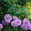 Allium flower — Stock Photo
