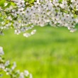 Stock Photo: Spring cherry tree blossoms