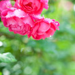 Blossoming rose bush in spring — Stock Photo