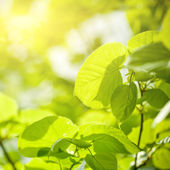 Green leaves sunny background — Stock Photo
