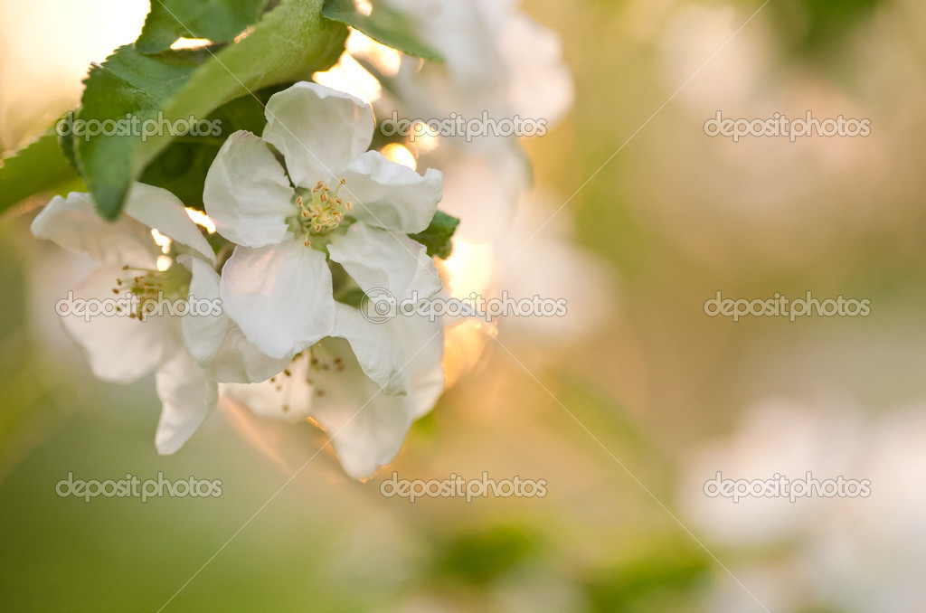 Blossoming apple tree branch with white flower on spring natural background — Stock Photo #8485568