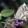 Butterfly Lycaedes on flower — Foto de Stock