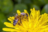 Bee apis mellifica — Stock Photo
