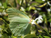 Butterfly Gonepteryx — Stock Photo