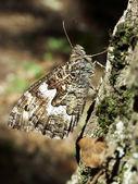 Butterfly Vanessa Atlanta — Stock Photo