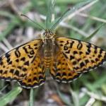 Butterfly melitaea didyma resting; Great Spangled Fritillary — Stock Photo