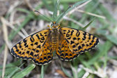 Butterfly melitaea didyma resting; Great Spangled Fritillary — Stock Photo