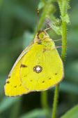 Butterfly Cloudless Sulphur resting — Stock Photo