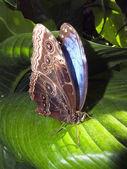 Morpho borboleta azul descansando em uma folha — Foto Stock