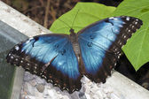 Butterfly blue morpho ruht auf wand — Stockfoto