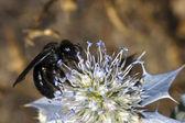 Bee apis mellifica — Stock Photo