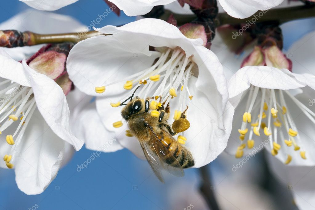 Kingdom:AnimaliaPhylum: ArthropodaClass: InsectaOrder: HymenopteraSuborder:ApocritaSuperfamily: ApoideaAnthophila — Stock Photo #9836249