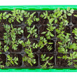 Tomato seedlings in germination tray — Stock Photo