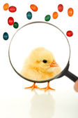 Easter chick under the magnifier — Stock Photo
