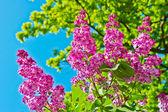 紫色丁香花 — 图库照片
