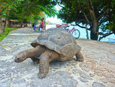 One Seychelles Giant Turtle — Stock Photo